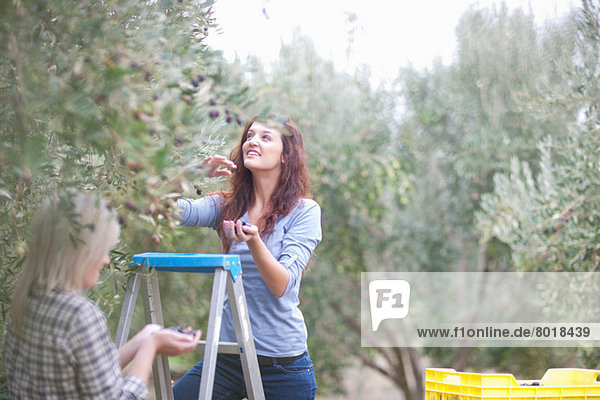 Two women picking olives in olive grove with stepladders
