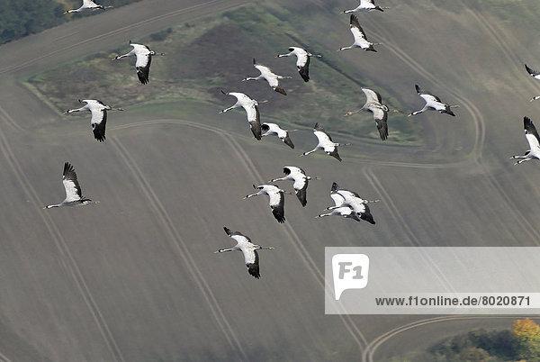 Luftbild  fliegende Kraniche (Grus grus)