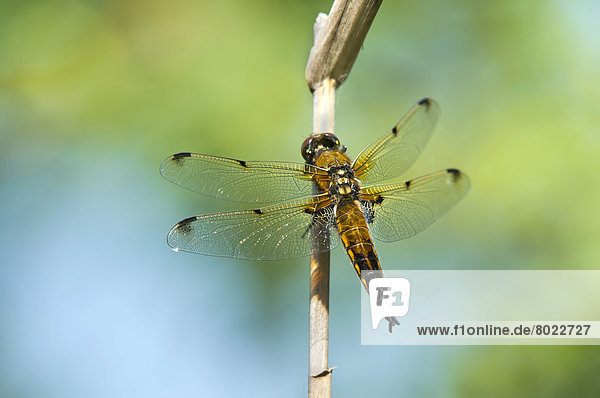 Four-spotted Chaser or Four-spotted Skimmer (Libellula quadrimaculata)