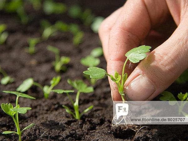 Setzling wird umgepflanzt