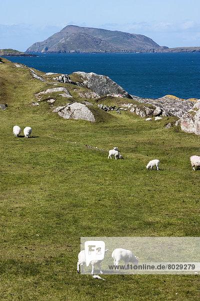 Lamm  Schaf  Ovis aries  Feld  Wiese  grasen