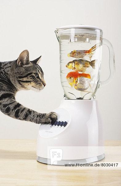 Goldfisch Carassius auratus auratus füllen füllt füllend Tatze Mixer Katze britisch Kanada grau Vancouver Goldfisch,Carassius auratus auratus,füllen,füllt,füllend,Tatze,Mixer,Katze,britisch,Kanada,grau,Vancouver