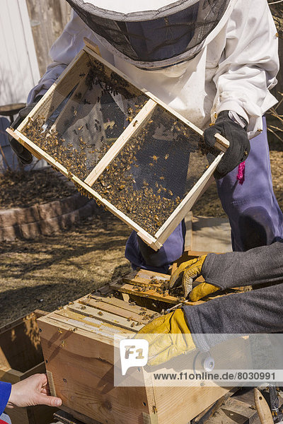 Vereinigte Staaten von Amerika  USA  eingießen  einschenken  Garten  Start  Königin  Bienenstock  Anchorage  Biene  neu  Jahreszeit