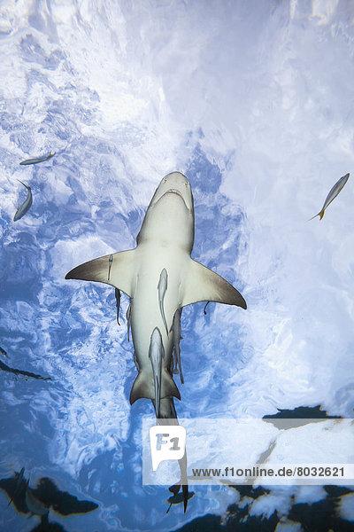 Unterwasseraufnahme  Zitrusfrucht  Zitrone  Hai