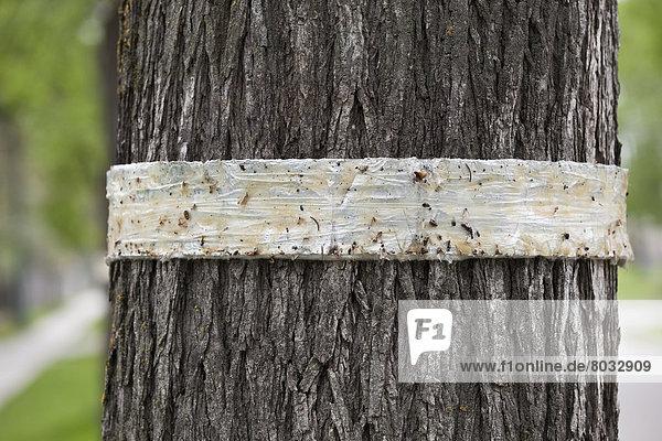 Baum  Insekt  Schutz  beschädigt  Kanada  Manitoba  Winnipeg