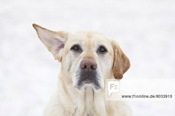 Tag  heben  gelb  Wind  Hund  1  Labrador  Retriever  Kanada  Manitoba  Winnipeg