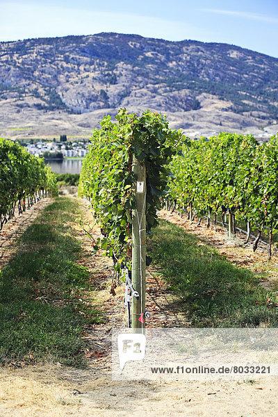 Vineyard In The Okanagan Valley  Osoyoos British Columbia Canada