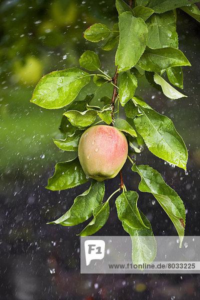 Wachstum  Tal  Regen  Apfel