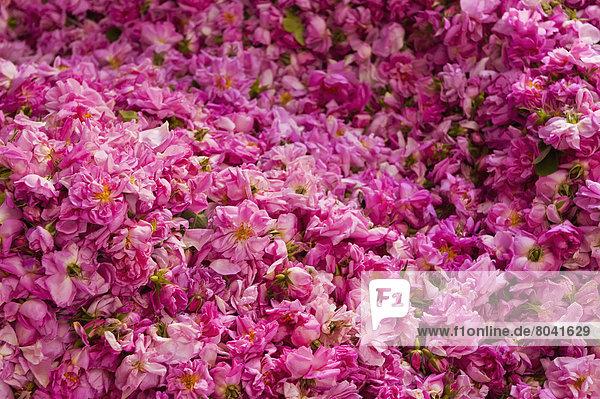 Haufen Rose groß großes großer große großen Kasbah Marokko