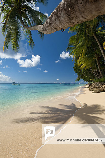 nahe  angelehnt  Strand  Baum  über  Barbados  Palme