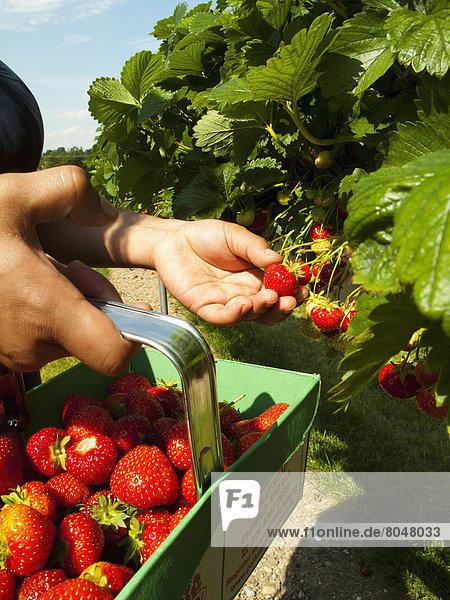 Großbritannien  Bauernhof  Hof  Höfe  Erdbeere  Eigentum