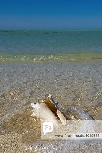 Conch shell on sandy beach  Key West  Florida Keys  Florida  USA