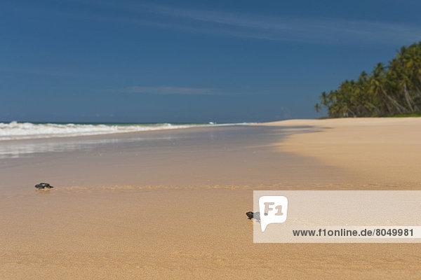 nahe Strand Wasserschildkröte Schildkröte Baby Sri Lanka