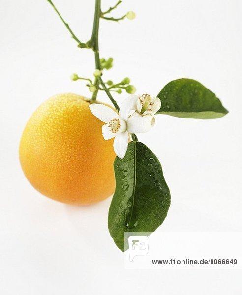 Orange mit Blüten am Zweig