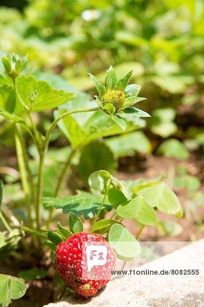 Pflanze Erdbeere Hausgarten