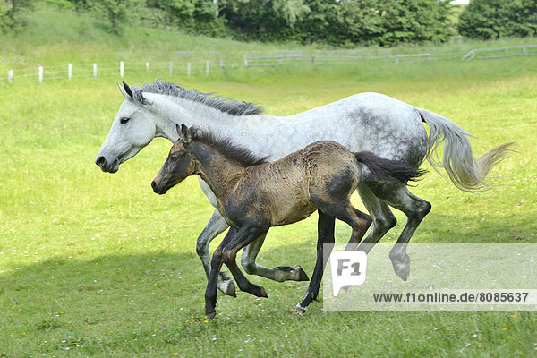Connemara horse mare with foal running on a paddock