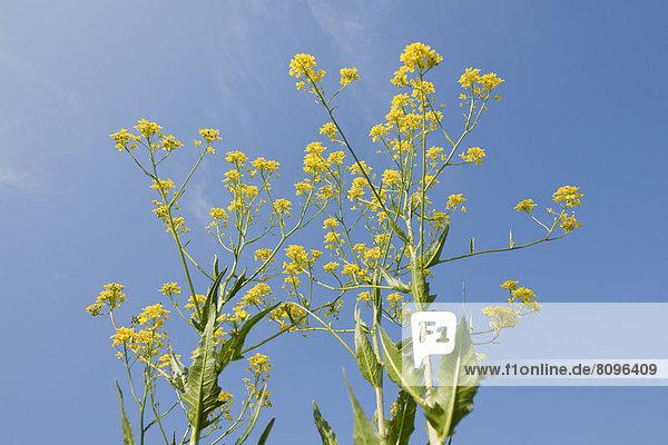 Orientalisches Zackenschötchen (Bunias orientalis)  blühend vor blauem Himmel