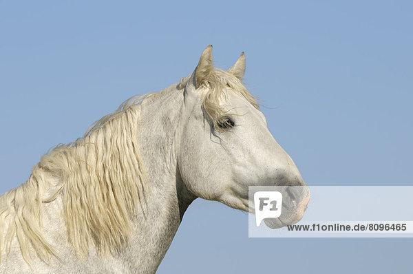 Connemara pony stallion  portrait