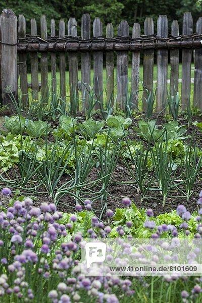 Schnittlauch in einem Kräutergarten