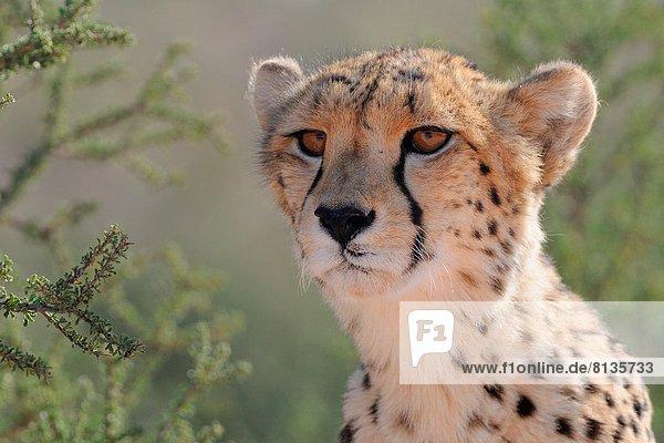 Südliches Afrika  Südafrika  Gepard  Acinonyx jubatus  Northern Cape  Nordkap