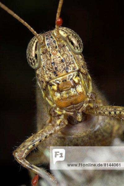 Heuschrecke  Malaysia  Sarawak