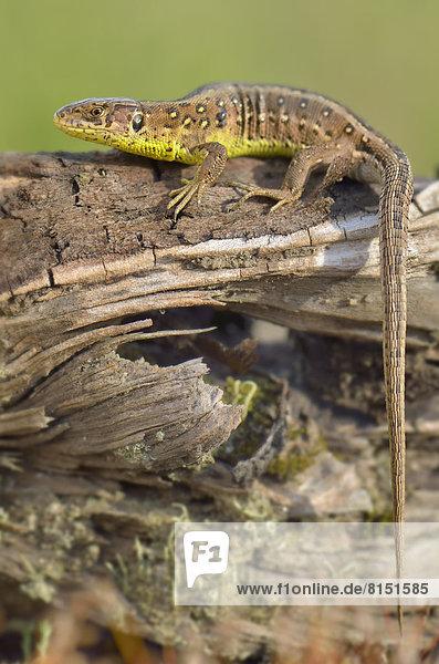 Zauneidechse (Lacerta agilis)  Weibchen kurz vor der Eiablage beim Sonnenbad