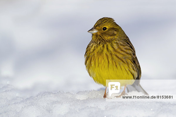 Goldammer (Emberiza citrinella) im Schnee