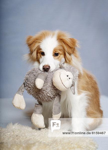 Border Collie Hund mit Lammspielzeug im Mund
