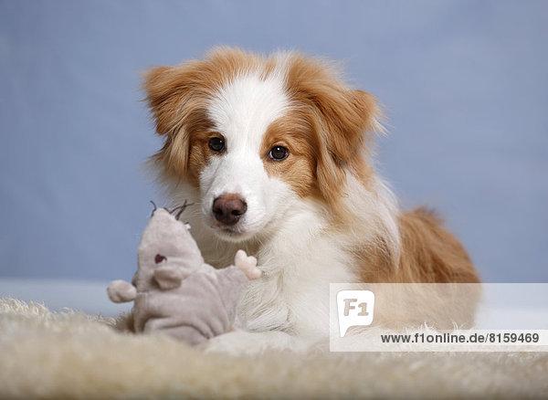 Border Collie Hund sitzend auf Teppich mit Plüschtier  Nahaufnahme