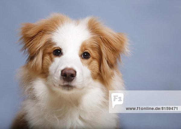 Border Collie Hund  Nahaufnahme