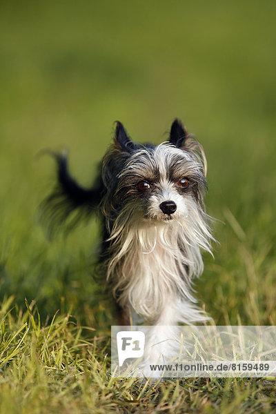 Deutschland  Baden Württemberg  Chinesischer Schopfhund im Gras laufend