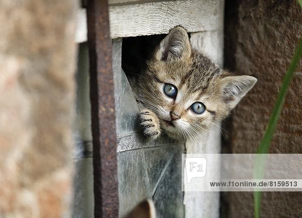 Deutschland  Baden Württemberg  Kätzchen schaut aus dem kaputten Fenster