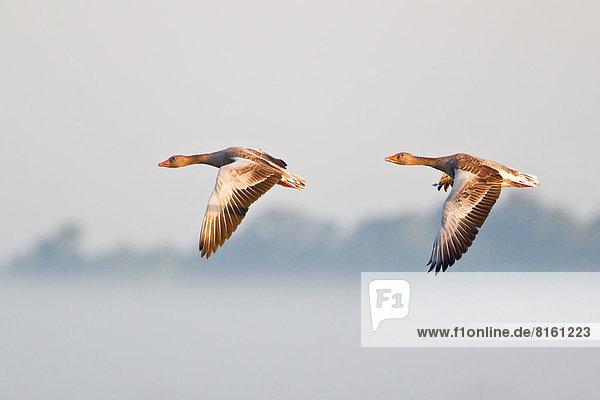 Zwei fliegende Graugänse (Anser anser) im Morgenlicht