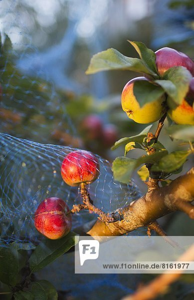 Close-up of apples on branch with net to cover the fruit from birds