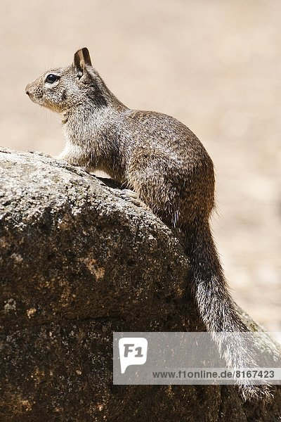 Red squirrel on rock  close-up