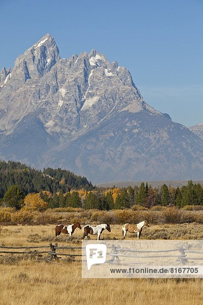 Horses grazing with Rocky Mountains in background