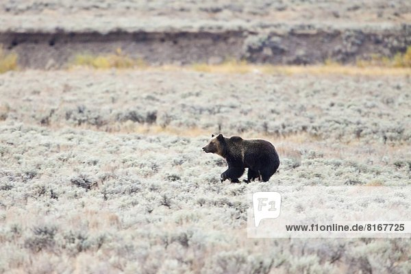 Grizzly bear running through meadow