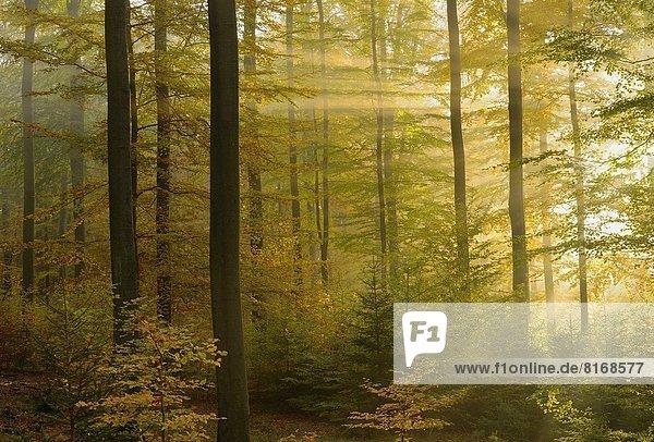 Sonnenstrahl Europa Wald Herbst Buche Buchen Rotbuche Fagus sylvatica Bayern Deutschland Sonnenstrahl,Europa,Wald,Herbst,Buche,Buchen,Rotbuche,Fagus sylvatica,Bayern,Deutschland