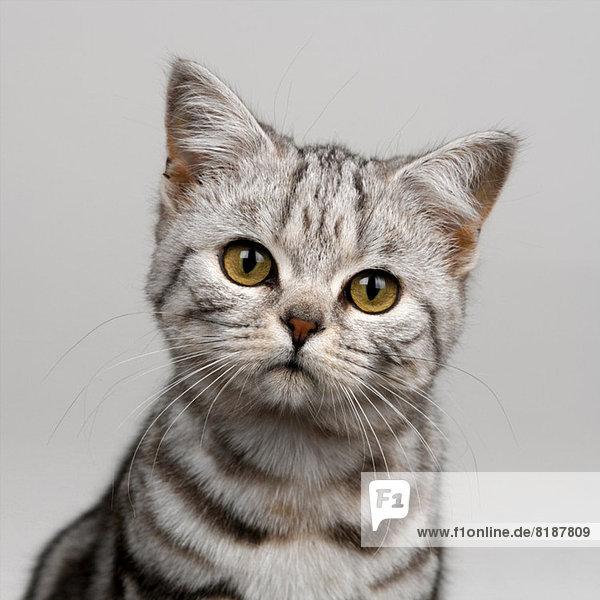 Junge silber gestromte Katze