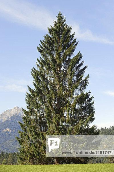 Gemeine Fichte  Rotfichte  Rot-Fichte oder Rottanne (Picea abies)