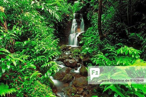 Lush vegetation and cascade along the Akaka Falls Trail  Akaka Falls State Park  The Big Island  Hawaii USA.