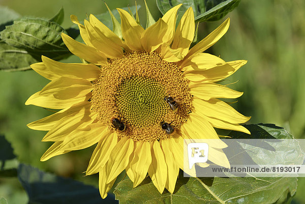 Sonnenblume (Helianthus annuus),  blühend