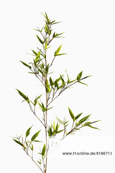 Bambusblätter auf weißem Grund  Nahaufnahme