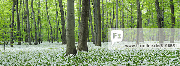 Germany  View of Ramson and beech trees in forest
