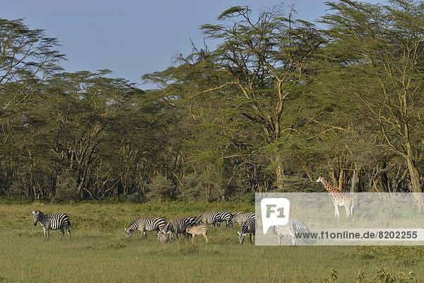 Rothschild-Giraffe oder Uganda-Giraffe (Giraffa camelopardalis rothschildi) und Steppenzebras (Equus quagga boehmi)