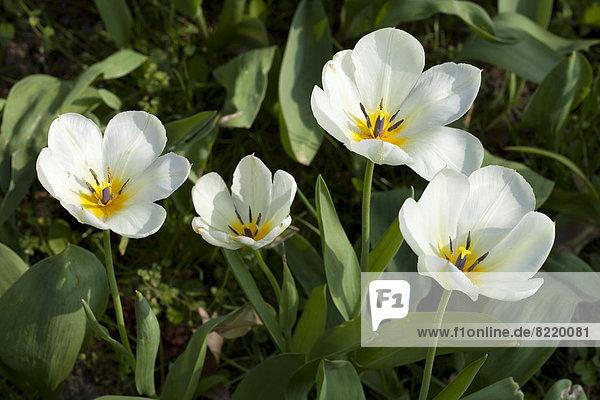 Weiße Tulpen (Tulipa)