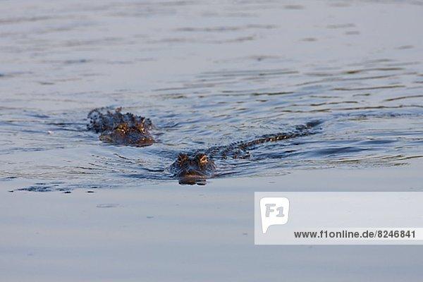 amerikanisch  schwimmen  Alligator