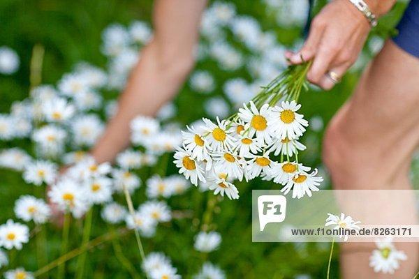 Frau  Gänseblümchen  Bellis perennis  aufheben  Margerite  Chrysanthemum leucanthemum