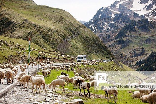 Herd of sheep on Pyrenees