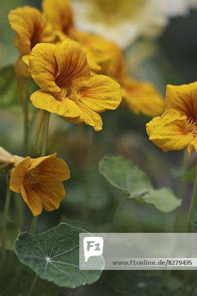 Blume  Kapuzinerkresse  Essen und Trinken